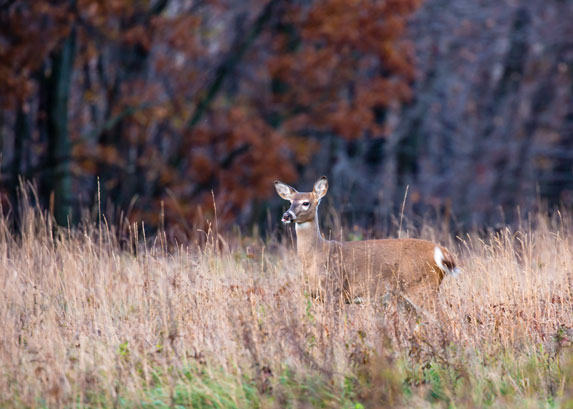 Deer Advisory Councils