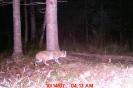 Trail camera of a bobcat