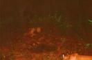 Trail camera photo of a bobcat