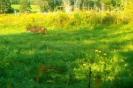 Photo of a bobcat