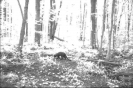 Trail camera photo of a fisher