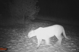A trail camera photo of a cougar in Bayfield County, December 14, 2020.
