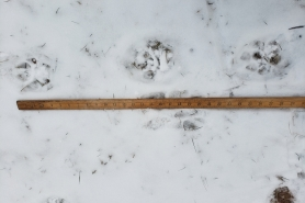 A photo of cougar tracks found in Bayfield County, next to a yard stick.
