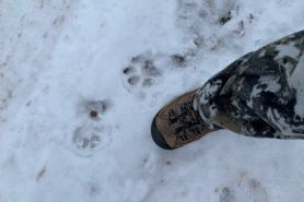 A set of cougar tracks found in Barron County on November 30, 2020.