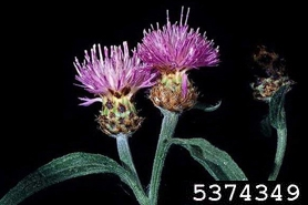 Photo of Black knapweed