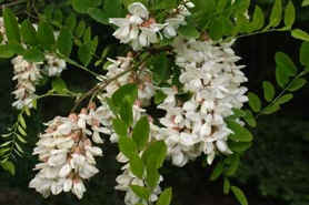 Photo of Black locust