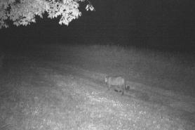Cougar Marinette 8-21-2019
