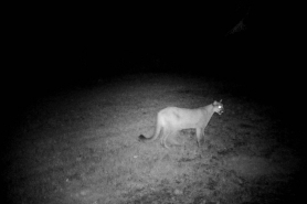 Cougar Marinette 8-23-19