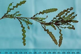 Photo of curly-leaf pondweed