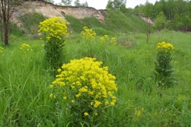 Photo of hill mustard