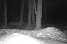 Cougar in Menominee County photographed on February 2, 2020.