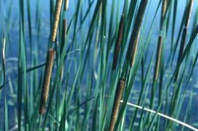 Photo of narrow-leaved cattail