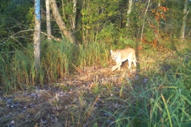 A trail camera photo of a cougar captured in Oconto County on October 1, 2020.