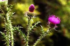 Photo of plumeless thistle