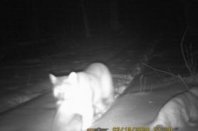 Portage County cougar Feb 13, 2020