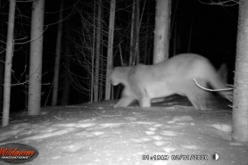 Price County Confirmed Cougar Observation 2-2-2020