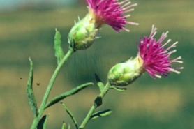 Photo of Russian knapweed