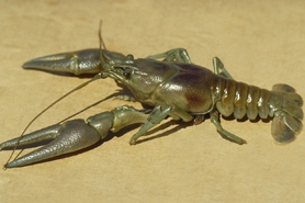 Photo of rusty crayfish