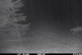 Trail camera photo of a cougar near Cable, WI. November 11, 2020.
