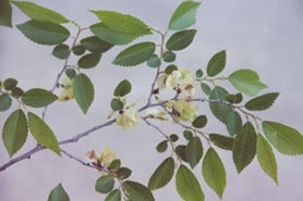 Photo of Siberian elm