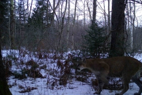 Photo of a cougar captured in Waupaca County on March 22, 2020.