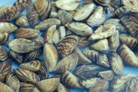 Photo of zebra mussel