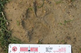 Cougar track mud