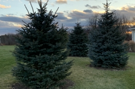 ​​​​backyard with evergreen trees