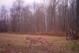 A trail camera photo of a cougar captured in Sawyer County on October 18, 2020.