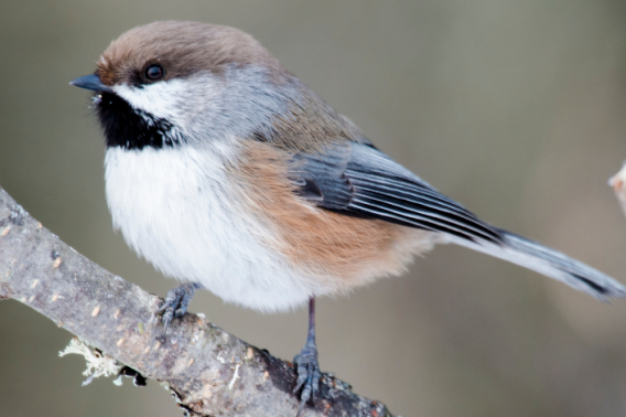 Boreal Chickadee on a branch with frost