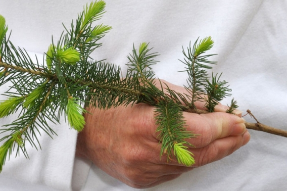 A close-up of a DNR employee holding a spruce seedling.
