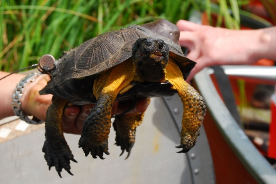 Wood turtle with GPS unit