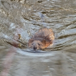 Beaver swimming in a lake