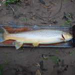Measuring Brown Trout Length