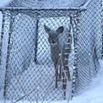 A deer in a netted cage trap