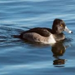 Ring-necked Duck on the water