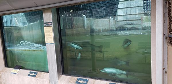 Root river fish display