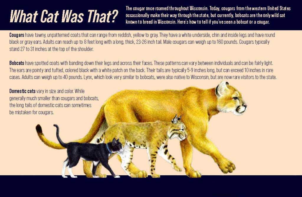 Infograph showing different characteristics on house cats, bobcats and cougars.