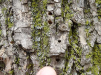 A tree trunk covered in D-shaped exit holes.