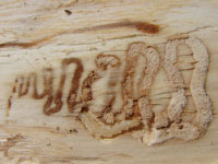 S-shaped galleries left in wood by emerald ash borer larvae.