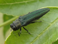 An adult emerald ash borer perched on a leaf.