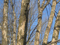 Ash trees with patches of bark missing.