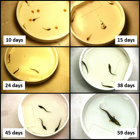 Lake Sturgeon Development