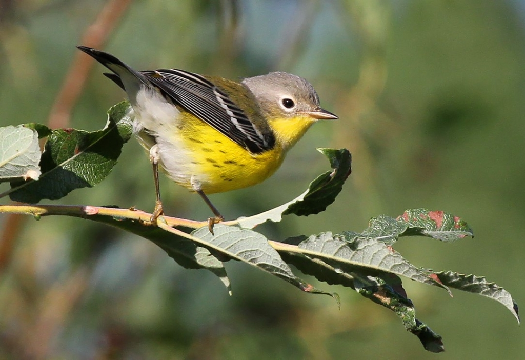 The bulk of Wisconsin's warbler migration occurs over the month of September, many species sporting different plumages than spring that challenge even the most seasoned birders. Magnolia warbler photo by Ryan Brady.