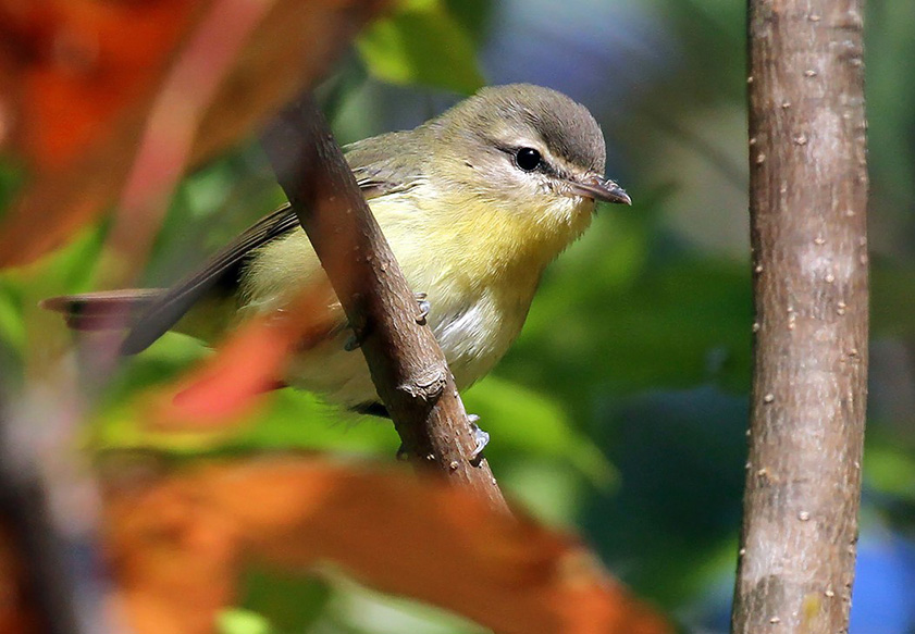 A sign of the changing season, a Philadelphia vireo forages among the fall colors in Bayfield County recently. Photo by Ryan Brady.