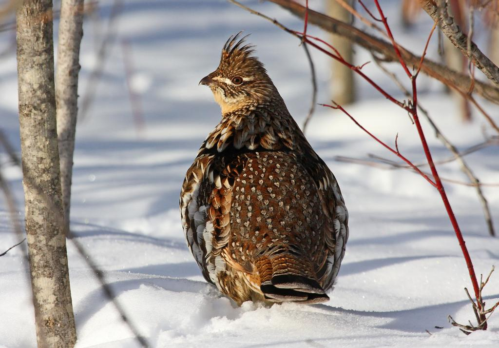 ruffed grouse in snow