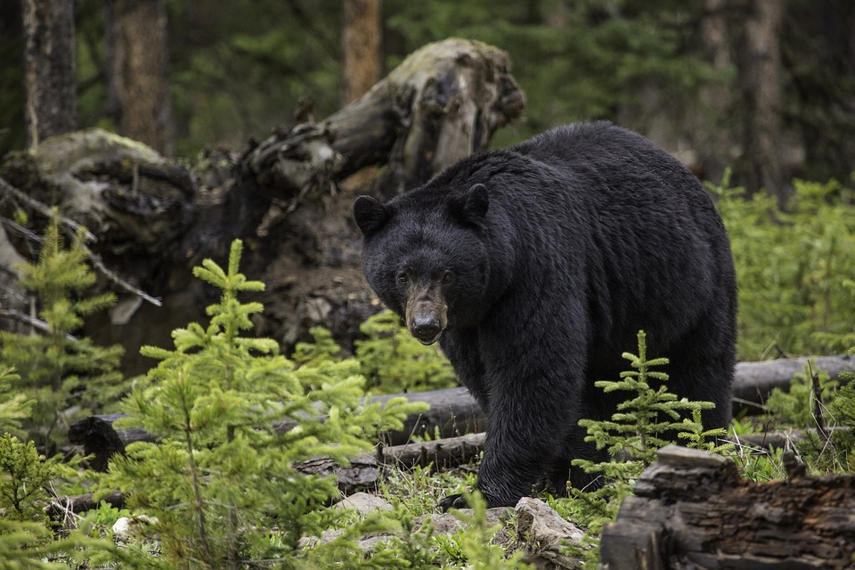 Black bear walking through a young spruce stand
