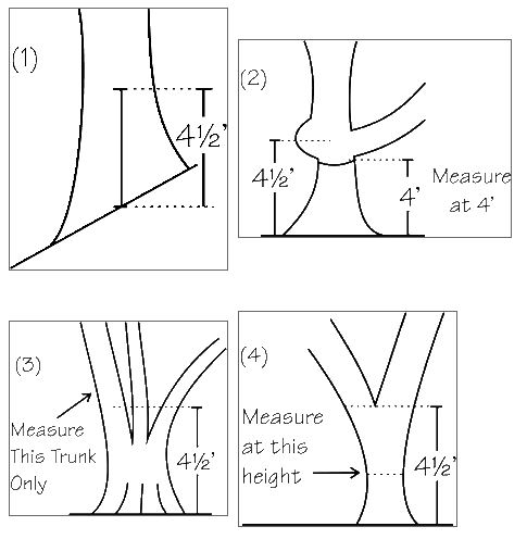 A series of four diagrams showing how to perform a circumference measurement on a tree.